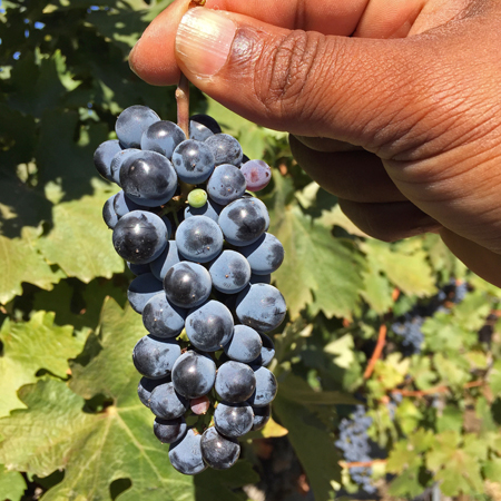 columbia crest grapes