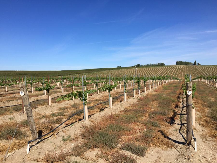 columbia crest vineyard