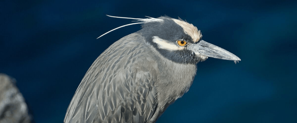 yellow crowned night heron is the bird of houston